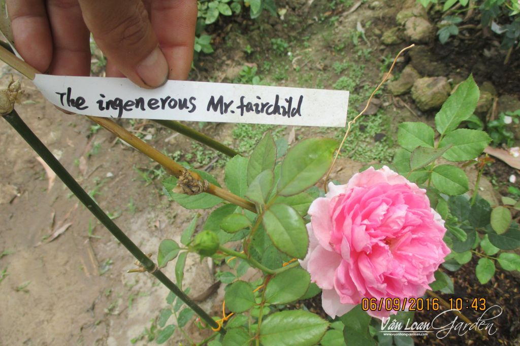 The Ingenious Mr. Fairchild Rose (8)-vuonhongvanloan.com