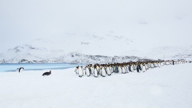 King Penguins on Right Whale Bay Just After a Snow Storm