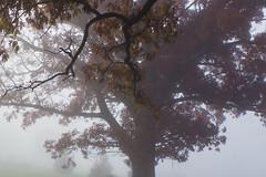 Oak Tree November Morning Fog