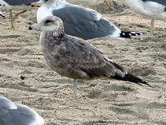 California Gull (2nd Cycle)
