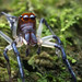 Male Jumping Spider (Hypaeus benignus?) - Cayo District, Belize by Thomas Shahan