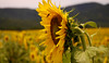 Bees and Sunflowers by Lorenzo Pacifico2011