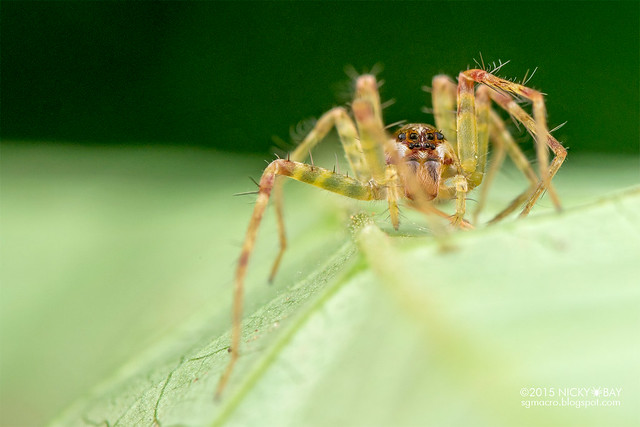 Nursery web spider (Pisauridae) - DSC_3789