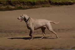 sloughi(0.0), street dog(0.0), labrador retriever(1.0), animal(1.0), dog(1.0), pet(1.0), mammal(1.0), pointer(1.0), weimaraner(1.0),