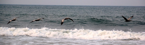 Pelicans North Carolina