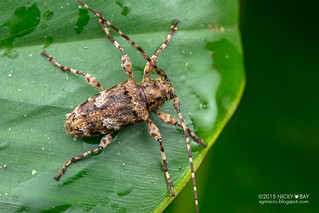 Longhorn beetle (Oreodera costaricensis) - DSC_0688