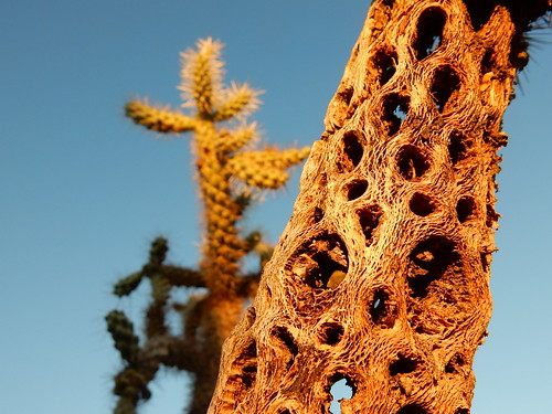 Lost Dutchman State Park - kaktus