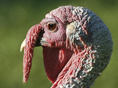 У США обрали індичок, яких помилують в День подяки