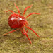 IMG_6420 Red spider mite by tobyjug5