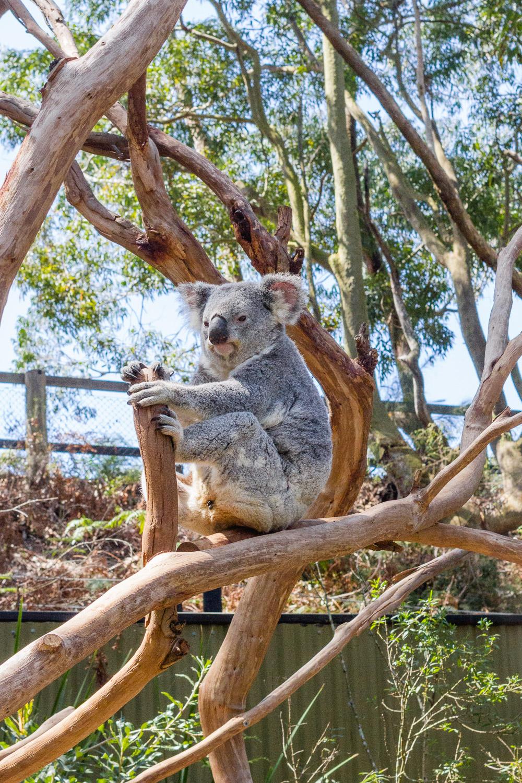 koalas Australian reptile park