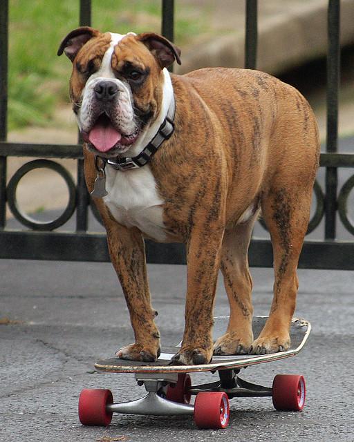 One Eyed Skateboarding Bulldog