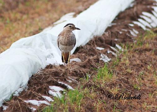 oedicnèmebistrié burhinusbistriatus birdofcostarica doublestripedthicknee oiseauxducostarica