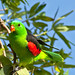 Red-winged parrot (Male) by Michael Aagaard Photography