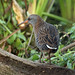 Water Rail by Dave R Ward