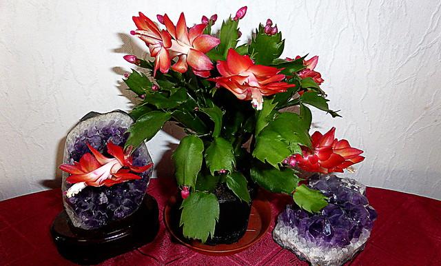 Christmas  Cactus     & Amethyst / Explore # 73, Panasonic DMC-TZ41