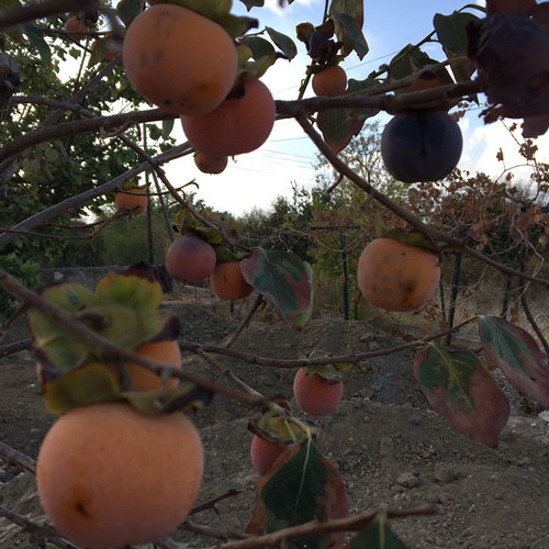 20161031_0883-persimmons-w
