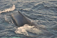 animal, marine mammal, fish, sea, marine biology, wind wave, whales, dolphins, and porpoises, humpback whale,