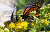 Two monarchs drink up the goldenrod nectar. by U.S. Fish and Wildlife Service - Midwest Region