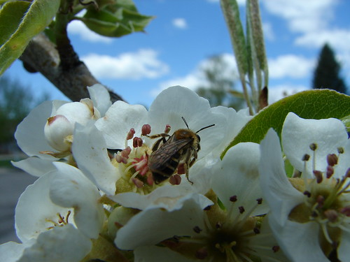 A native Andrena bee species gathering nectar and pollen from a pear flower