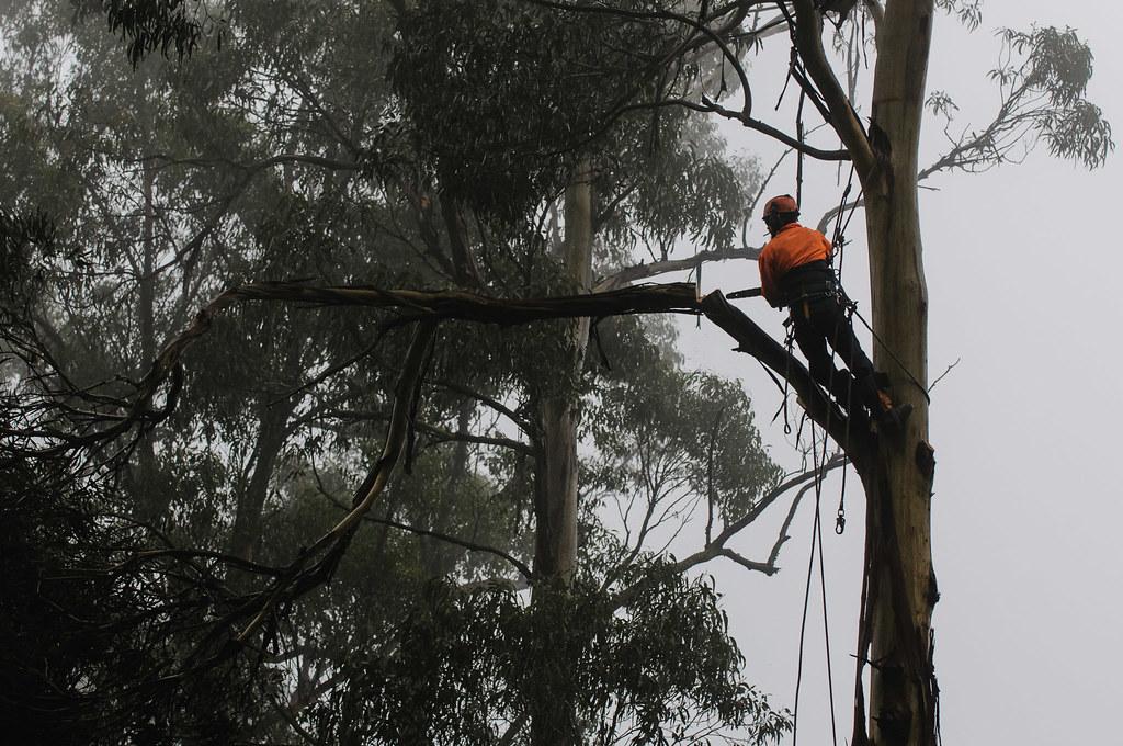 Tree felling - 1