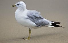 seagull sea gull