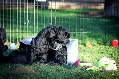 Portuguese-Water-Dog-puppies-17.jpg