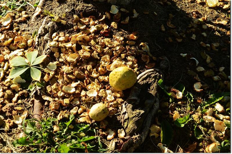 Horse Chestnut(七葉樹)~落果