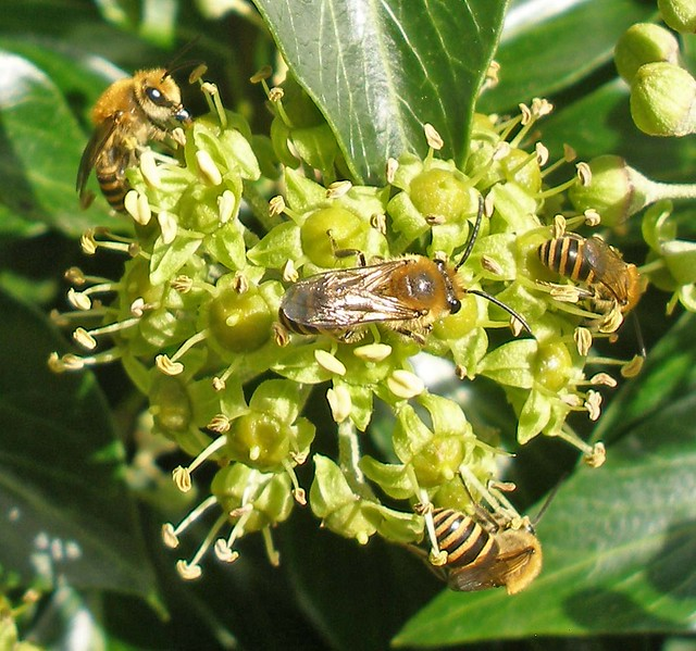 Ivy bees on ivy flower head