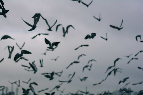Early morning scene of Pigeons flying