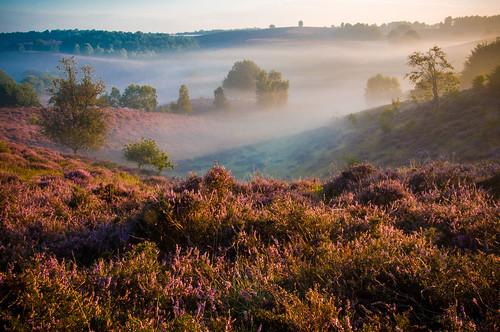 morning trees holland green nature netherlands fog sunrise landscape nikon purple blossom heather arnhem natuur hills vista hei mooi bos veluwe veluwezoom posbank heide blooming pracht paars zonsopkomst rheden