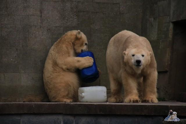 Eisbär Fiete im Zoo Rostock 05.12.2015  270