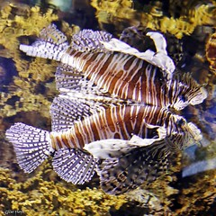 Red Lionfish and reflection.