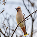 Waxwing (1 of 1)-3 by den9112