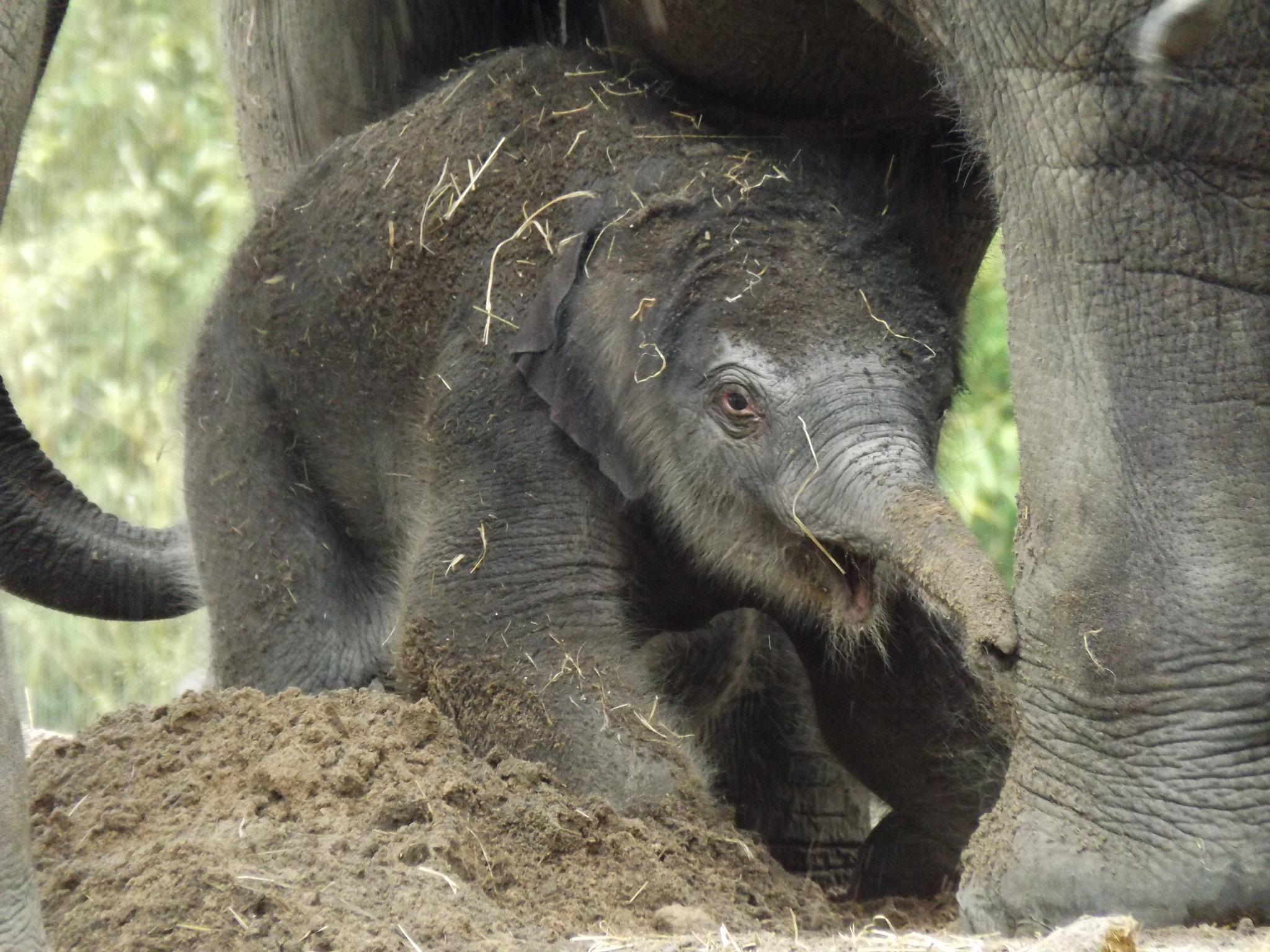 Aziatisch olifantje Sunay.