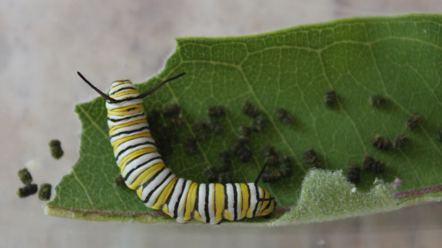 medium-sized caterpillar and frass