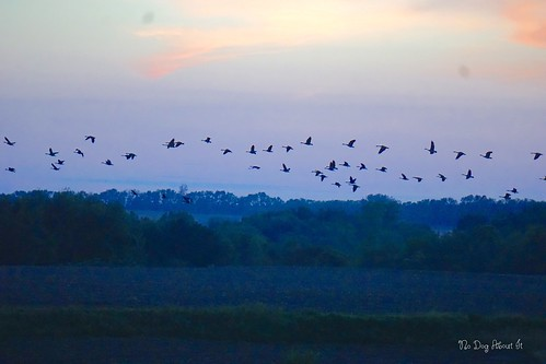 Canadian Goose Migration