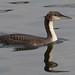 Pacific Loon by ebirdman