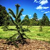 Araucaria araucana,  or, in my classification:  Araucaria ngondek.  :evergreen_tree::information_desk_person::evergreen_tree:
