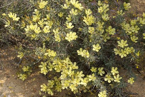 Monsonia spinosa (syn. Sarcocaulon l'heritieri)