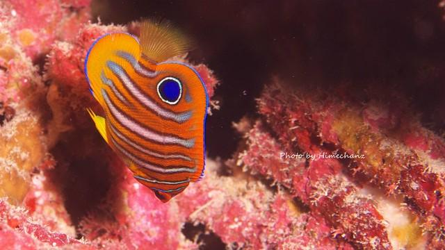 ふらふらしてなかなか好みのアングルで撮影できないキンチャクダイ幼魚