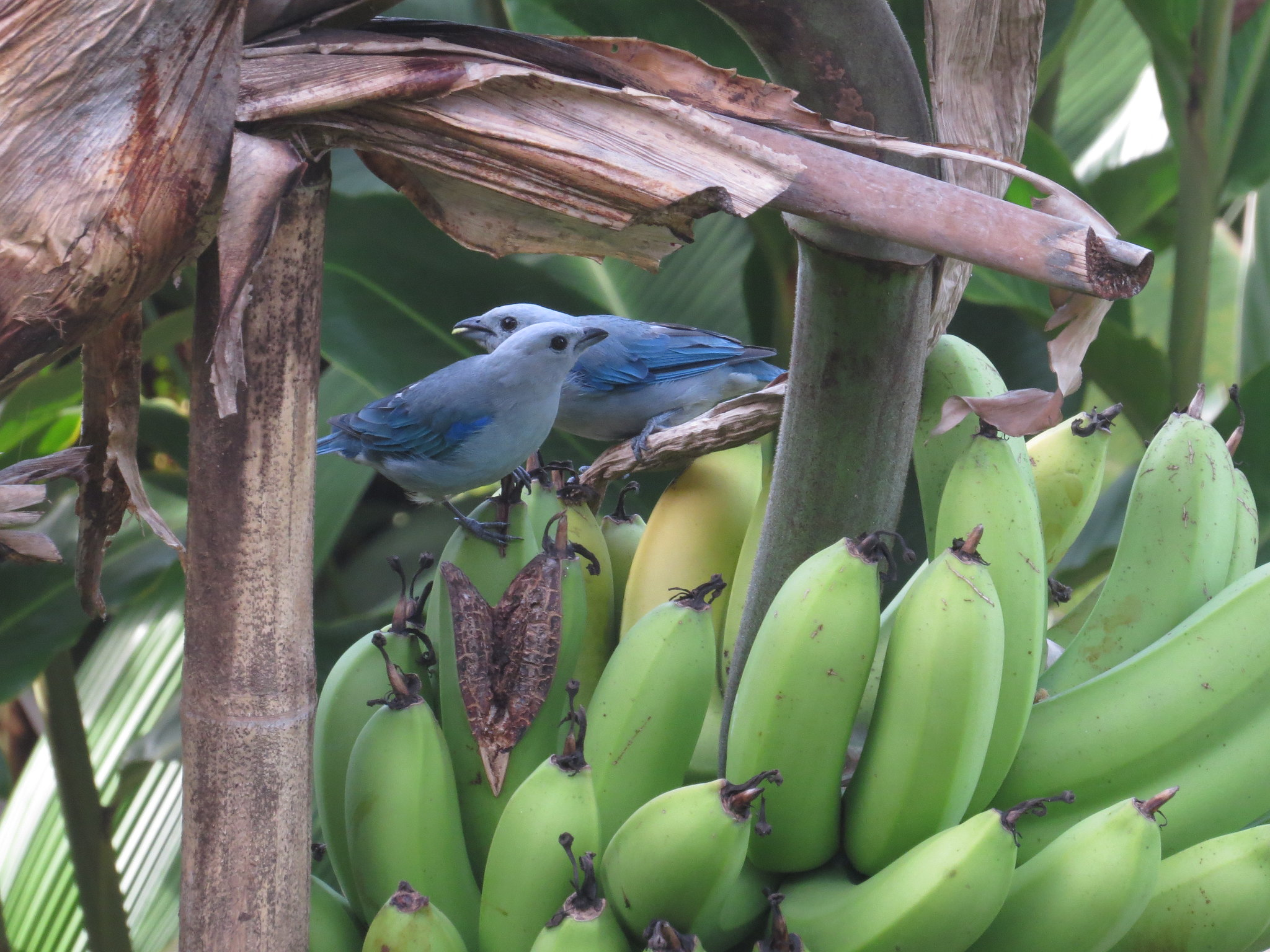 Blue-gray Tanagers by Seth Inman - La Paz Group