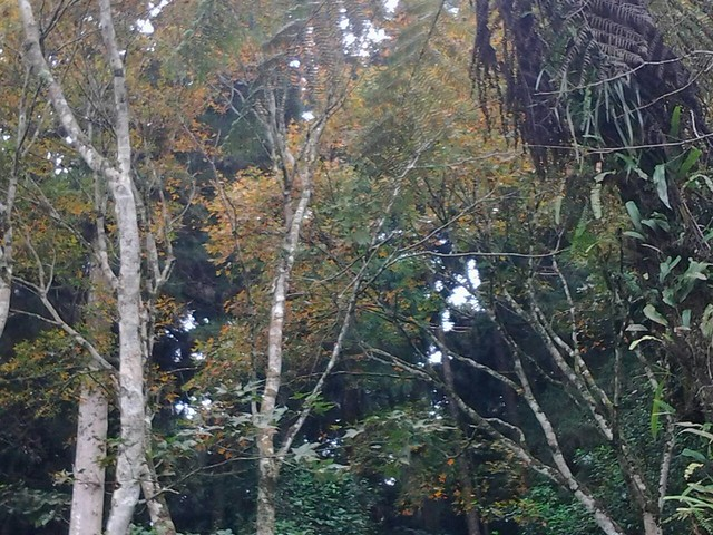 63溪頭的楓葉