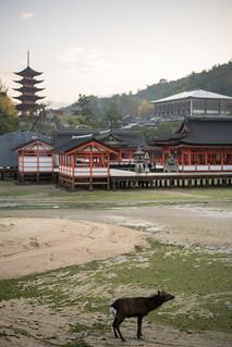 Image of Itsukushima Shrine near Miyajima. japan shrine hiroshima deer miyajima lowtide itsukushimajinja fivestorypagoda 五重塔