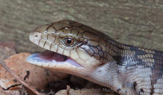 Blue-tongue 2