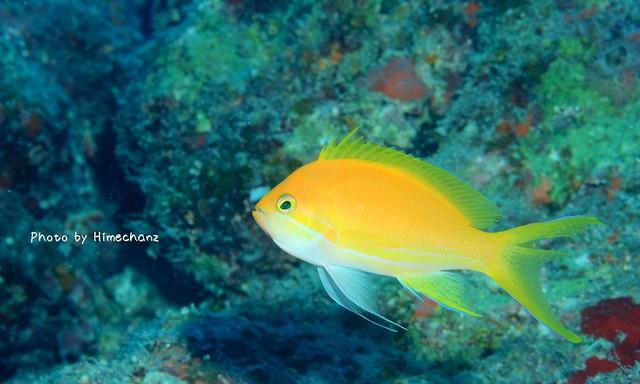 こちらはスミレナガハナダイ雌。色合いがなんとも美しい
