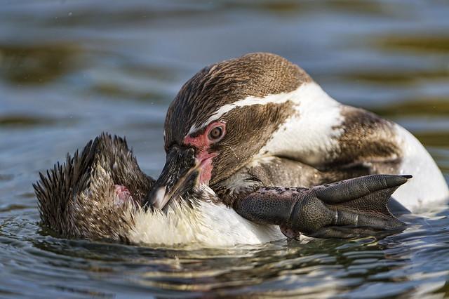 Penguin grooming II