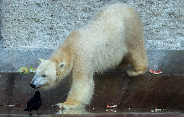 Eisbär Giovanna