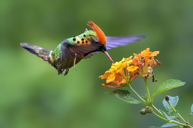Tufted Coquette Hummingbird ( Lophornis ornatus ...  Yerette