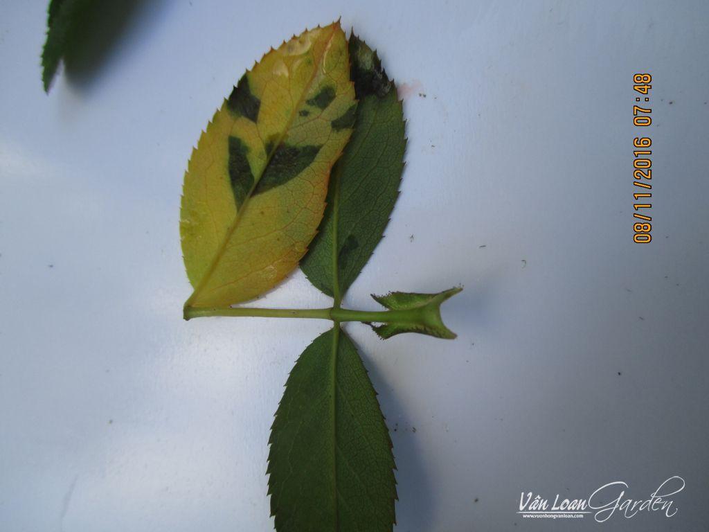 benh vang la benh suong mai tren cay hoa hong Downy Mildew rose (15)-vuonhongvanloan.com