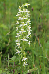 HolderGreater Butterfly Orchid, Latterbarrow, Cumbria, England